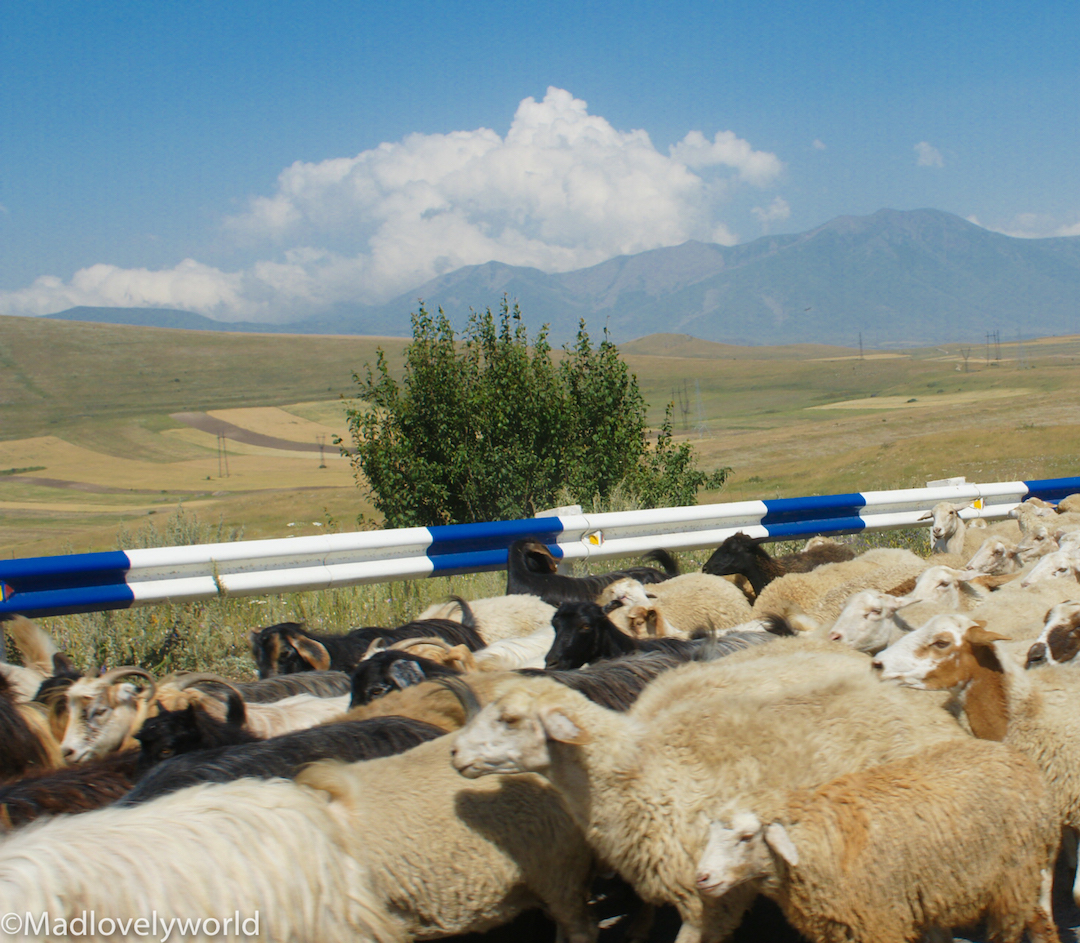 Schafe, Armenien