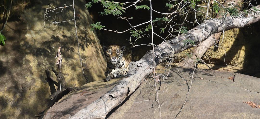 Jaguar, Suriname, Dschungel,