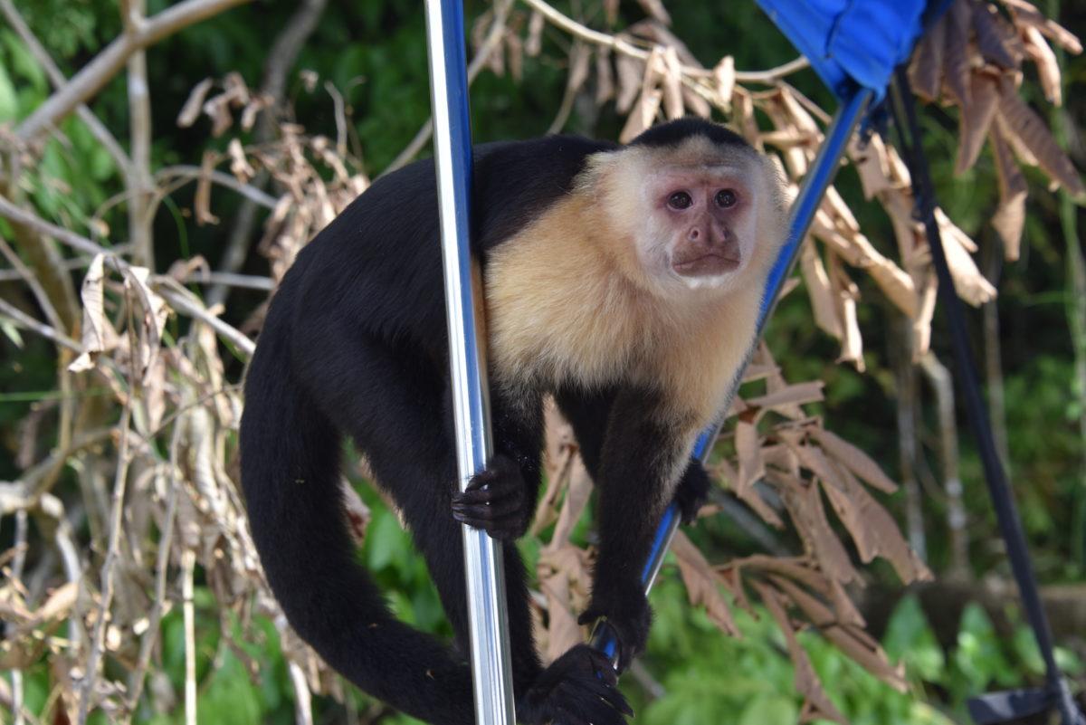 Monkey Panama Kanal