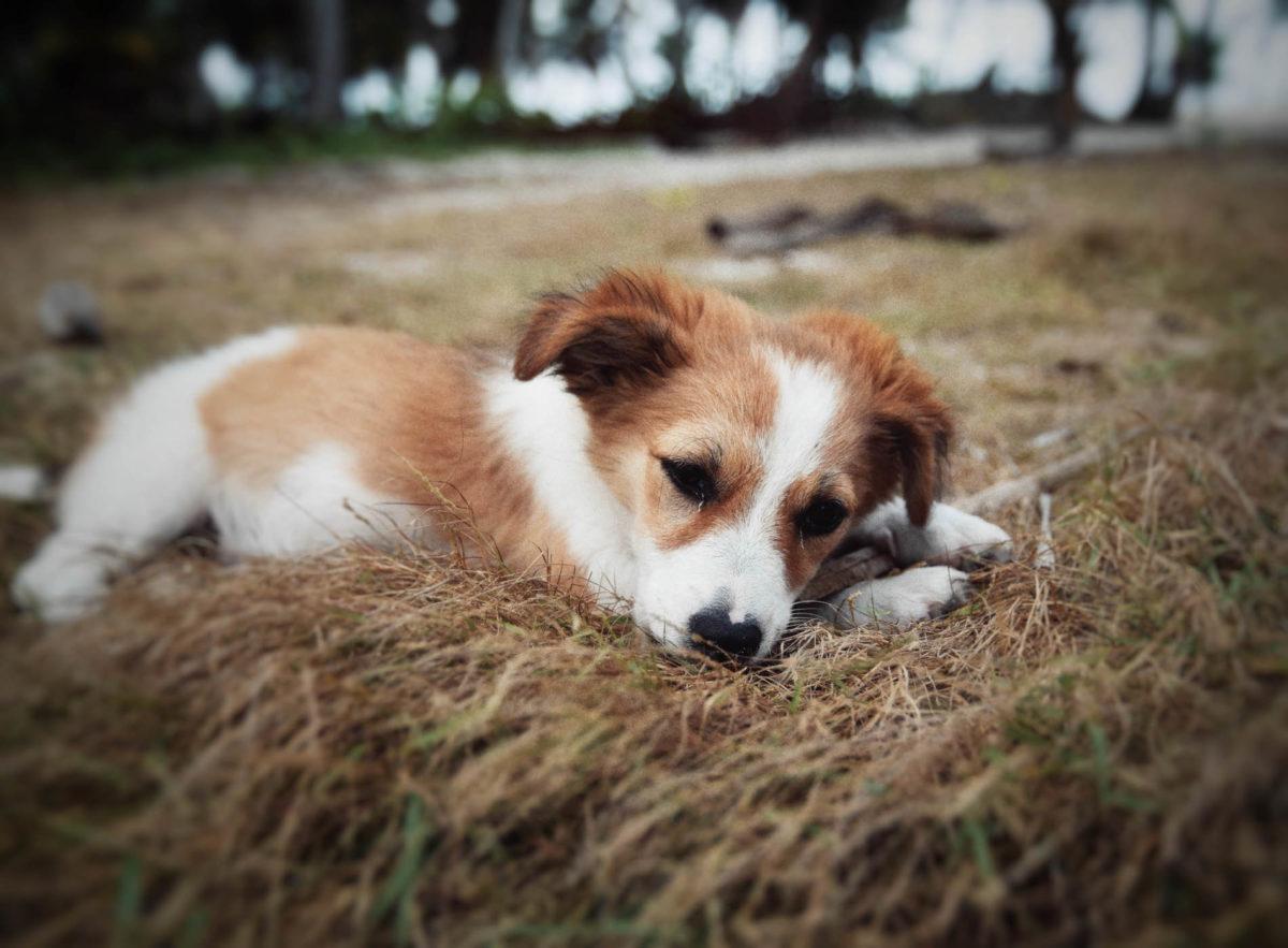 San Blas Puppy