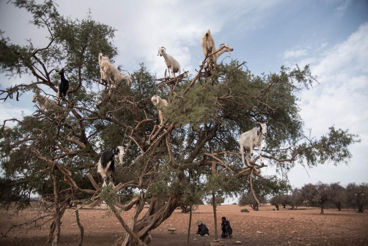Ziegen auf Arganbäume