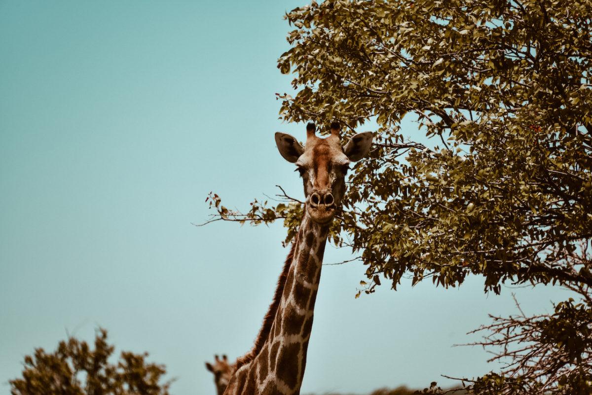 Giraffe Etoscha Nationalpark