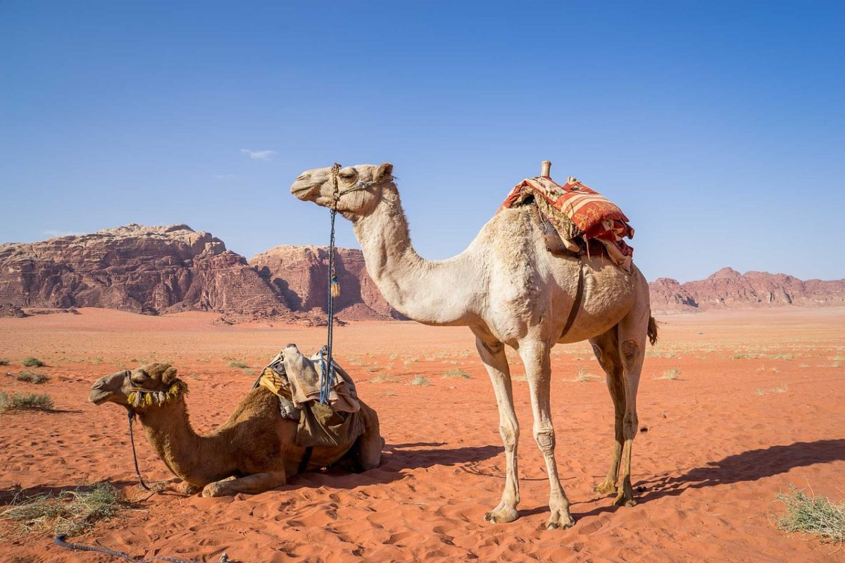 Wadi Rum Desert - Camel