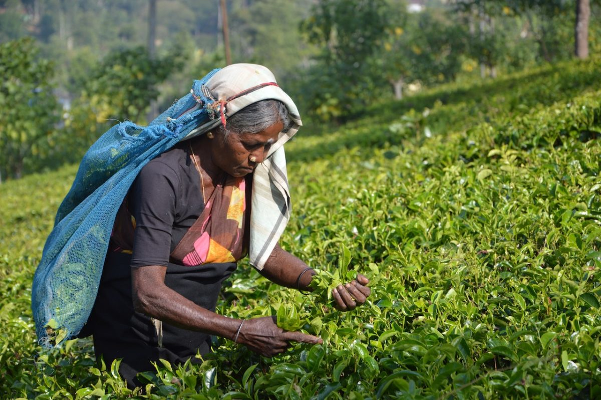tea-picker