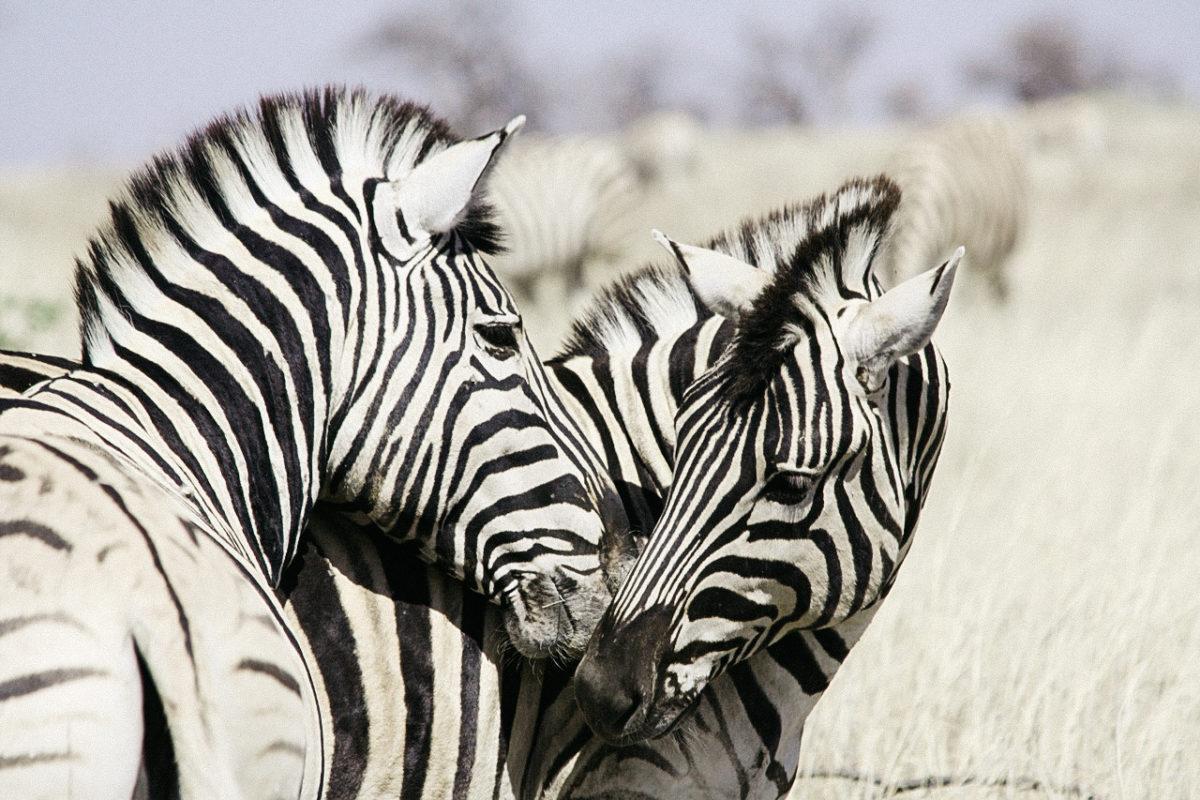Zebras Namibia